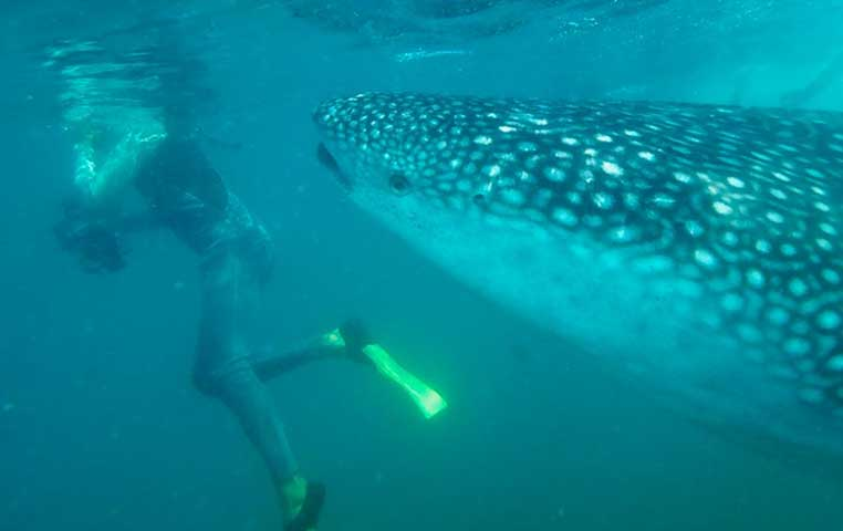 Whale Shark in Eating Position next to a Snorkeler in Cabo San Lucas