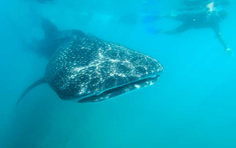 Snorkeling next to  a Huge Whale Shark in La Paz Mexico