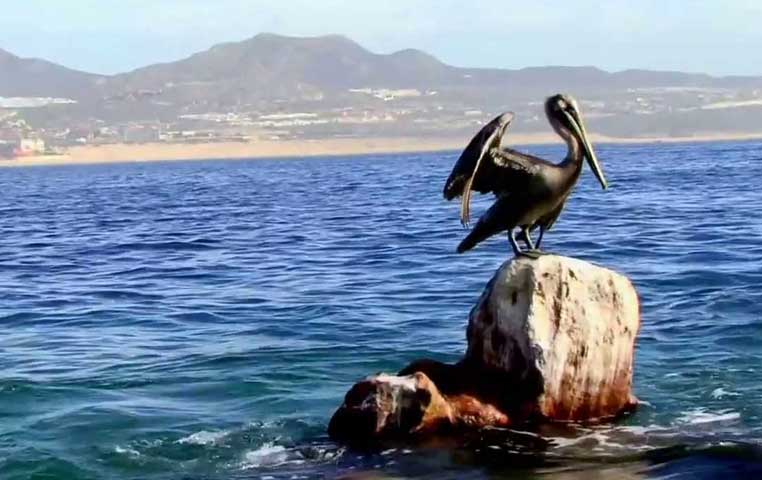 Pelican sitting on a Rock next to Lands End and the Cabo Arch