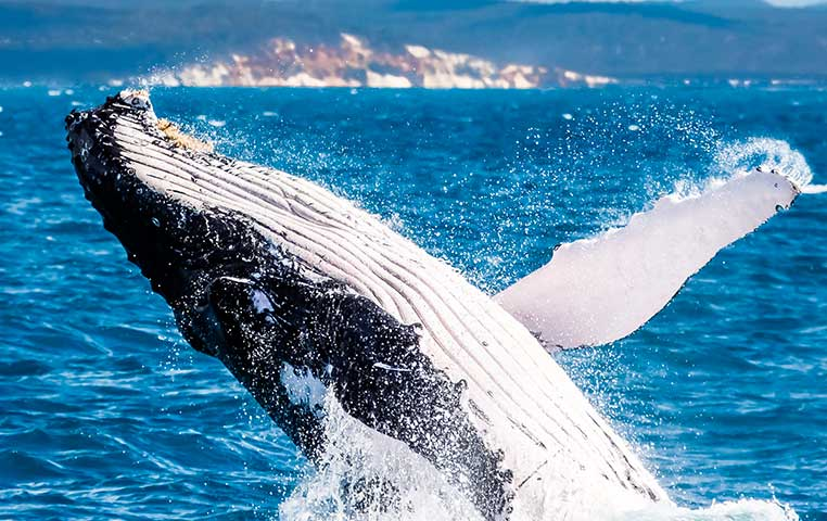 Humpback Whale jumping out of the Water in front of Cabo San Lucas