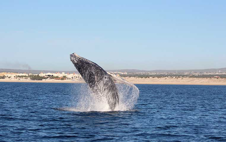 Humpback Whale jumping out of the Water in front of Cabo